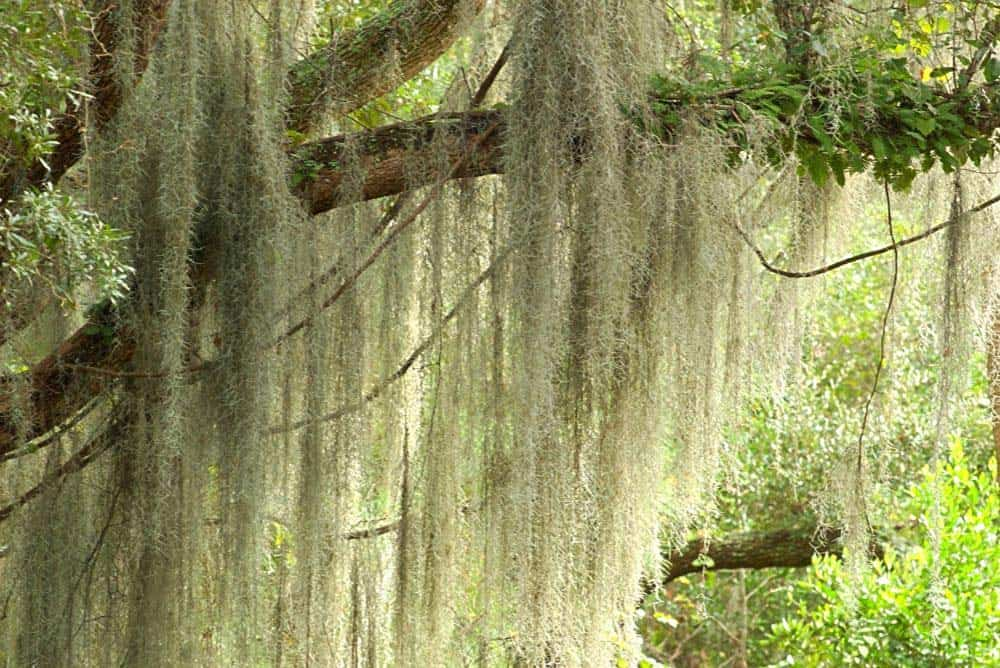 Spanish moss hanging from tree in New Orleans